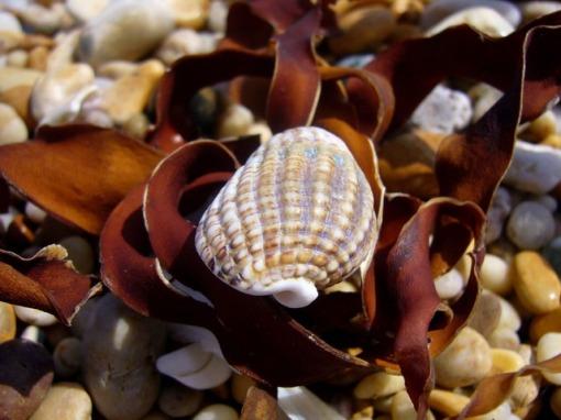 seashell-1812_640