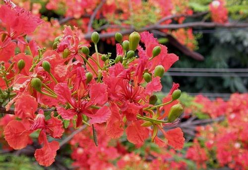 Gulmohar_flowers